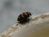 Spekkevers (Dermestidae)