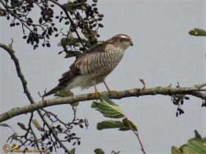 Sperwer - Accipiter nisus ♀️