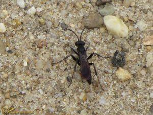 Spinnendoder onbekend - Pompilidae indet.