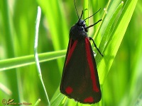 Spinneruilen (Erebidae)