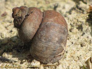 Spitse moerasslak - Viviparus contectus