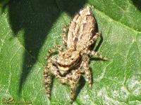 Springspinnen (Salticidae)