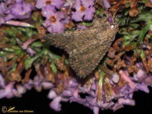 Spurrie-uil - Anarta trifolii