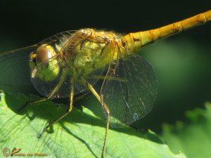 Steenrode Heidelibel – Sympetrum vulgatum ♀️