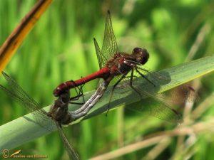 Steenrode Heidelibel – Sympetrum vulgatum ♂️♀️