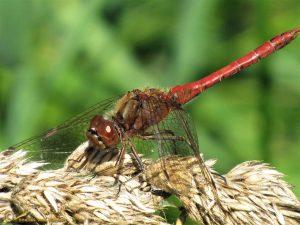 Steenrode Heidelibel – Sympetrum vulgatum ♂️