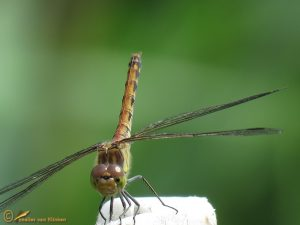 Steenrode Heidelibel – Sympetrum vulgatum