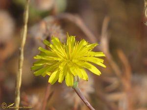 Stijf havikskruid - Hieracium laevigatum