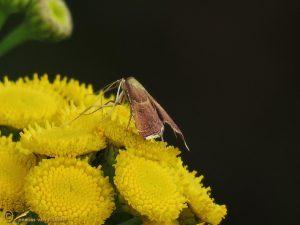Strooiselmot - Endotricha flammealis
