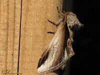 Tandvlinders (Notodontidae)
