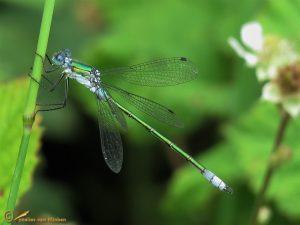 Tangpantserjuffer - Lestes dryas ♂️