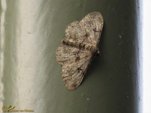 Taxusspikkelspanner - Peribatodes rhomboidaria