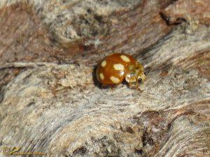Tienvleklieveheersbeestje – Calvia decemguttata