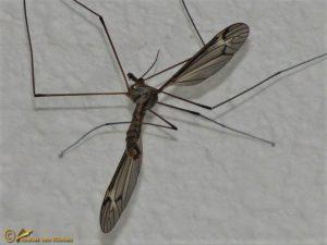 Tipula lateralis ♂️