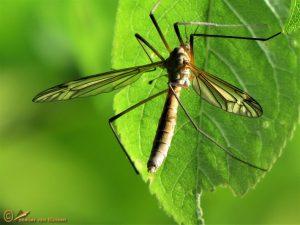 Tipula vernalis ♀️