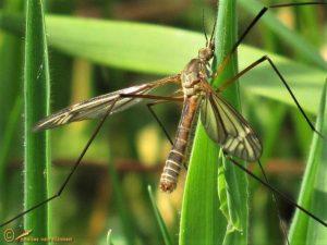 Tipula vernalis ♂️