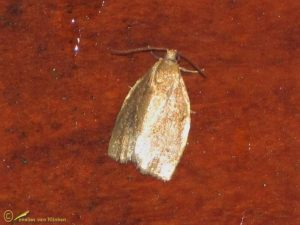 Tuinbladroller - Clepsis consimilana