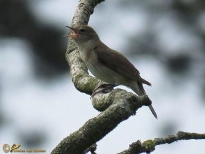 Tuinfluiter - Sylvia borin ♂️