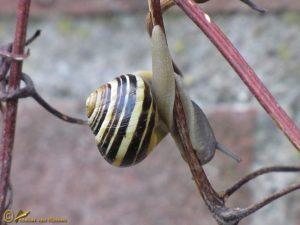 Tuinslak onbekend - Cepaea spec.