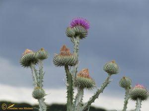 Tuinwegdistel - Onopordum x beckianum (O. acanthium x illyricum) (