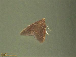 Tweelijnmot - Hypsopygia glaucinalis