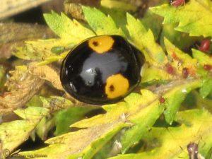 Tweevlekkig Aziatisch lieveheersbeestje - Harmonia axyridis f. conspicua