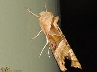 Uilen (Noctuidae)