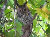 uilen-strigidae