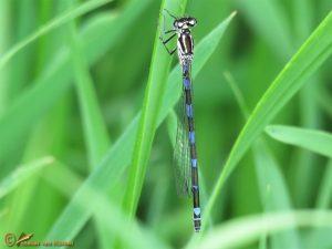 Variabele Waterjuffer – Coenagrion pulchellum ♀️