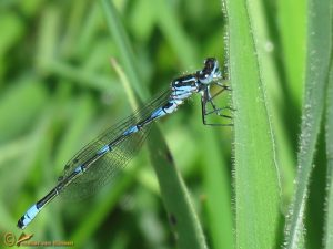 Variabele Waterjuffer – Coenagrion pulchellum ♂️