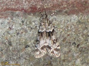 Variabele granietmot - Eudonia mercurella