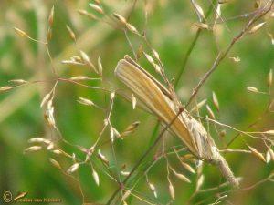 Variabele grasmot - Agriphila tristella