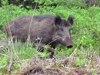 varkens-of-zwijnen-van-de-oude-wereld-suidae-1