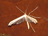 Vedermotten (Pterophridae)