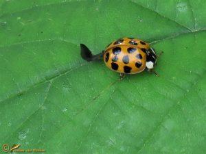 Veelstippig Aziatisch lieveheersbeestje - Harmonia axyridis f. succinea