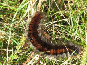 Veelvraat - Macrothylacia rubi