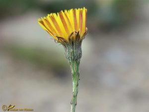 Vertakte leeuwentand - Scorzoneroides autumnalis