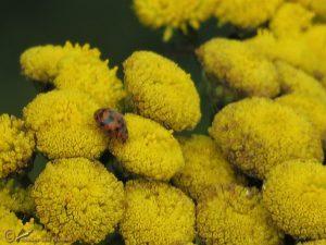 Vierentwintigstippelig lieveheersbeestje - Subcoccinella vigintiquatuorpunctata