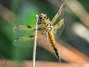 Viervlek – Libellula quadrimaculata ♀️