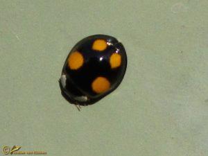 Viervlekkig Aziatisch lieveheersbeestje - Harmonia axyridis f. spectabilis