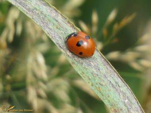 Vijfstippelig lieveheersbeestje - Coccinella quinquepunctata