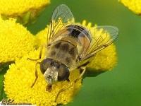 Vliegen Soorten