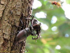 Vliegend hert – Lucanus cervus
