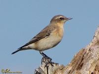 vliegenvangers-muscicapidae
