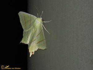 Vliervlinder - Ourapteryx sambucaria
