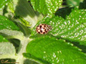 Vloeivleklieveheersbeestje - Oenopia conglobata