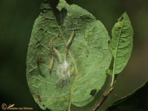 Vogelkersstippelmot - Yponomeuta evonymella