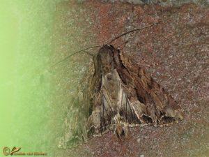 Vogelwiekje - Dypterygia scabriuscula