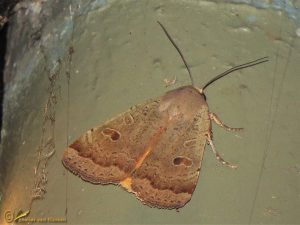 Volgeling - Noctua comes