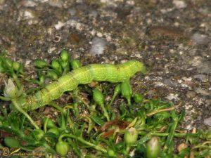 Voorjaarsboomspanner - Alsophila aescularia
